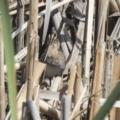 Gallinago hardwickii at Jerrabomberra Wetlands - 5 Feb 2019