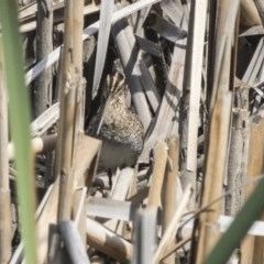 Gallinago hardwickii (Latham's Snipe) at Jerrabomberra Wetlands - 5 Feb 2019 by Alison Milton