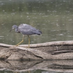 Egretta novaehollandiae (White-faced Heron) at Jerrabomberra Wetlands - 6 Feb 2019 by Alison Milton