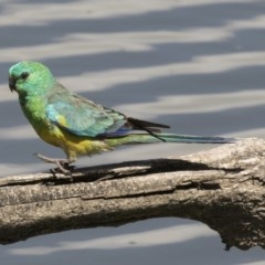 Psephotus haematonotus (Red-rumped Parrot) at Jerrabomberra Wetlands - 5 Feb 2019 by Alison Milton