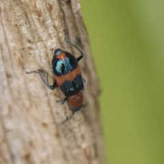 Dicranolaius bellulus (Red and Blue Pollen Beetle) at Higgins, ACT - 4 Feb 2019 by Alison Milton