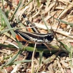 Macrotona australis (Common Macrotona Grasshopper) at Pine Island to Point Hut - 18 Feb 2019 by RodDeb