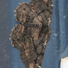 Pholodes sinistraria (Sinister Moth, Frilled Bark Moth) at Higgins, ACT - 2 Feb 2019 by Alison Milton