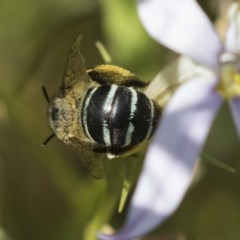 Amegilla (Zonamegilla) asserta (Blue Banded Bee) at Higgins, ACT - 25 Jan 2019 by AlisonMilton