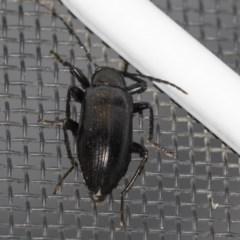 Homotrysis sp. (genus) (Darkling beetle) at Higgins, ACT - 12 Jan 2019 by Alison Milton