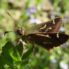 Dispar compacta (Barred skipper) at ANBG - 17 Feb 2019 by Christine