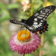 Papilio anactus (Dainty Swallowtail) at ANBG - 17 Feb 2019 by Christine