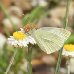 Pieris rapae (Cabbage White) at ANBG - 17 Feb 2019 by Christine