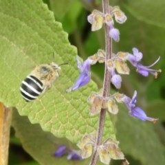 Amegilla (Zonamegilla) asserta (Blue Banded Bee) at ANBG - 18 Feb 2019 by Christine