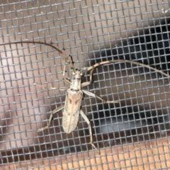 Didymocantha obliqua (Longhorn beetle) at Rosedale, NSW - 16 Feb 2019 by jbromilow50