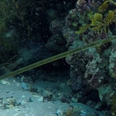 Fistularia sp. (TBC) at Jervis Bay Marine Park - 15 Feb 2019 by pez