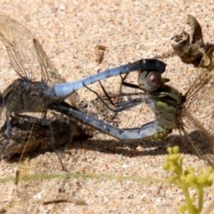 Orthetrum caledonicum (Blue Skimmer) at Rosedale, NSW - 16 Feb 2019 by jbromilow50