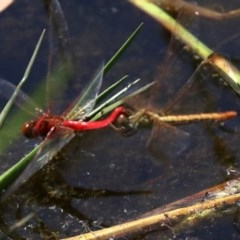 Diplacodes haematodes (Scarlet Percher) at Rosedale, NSW - 16 Feb 2019 by jbromilow50