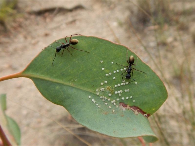Camponotus suffusus at Aranda Bushland - 20 Feb 2019