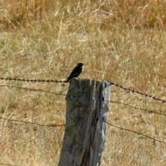 Artamus cyanopterus (Dusky Woodswallow) at Tennent, ACT - 18 Feb 2019 by RodDeb
