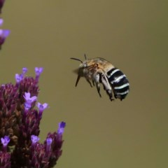 Amegilla sp. (genus) (Blue Banded Bee) at Gigerline Nature Reserve - 20 Feb 2019 by DPRees125