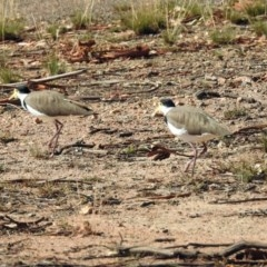 Vanellus miles (Masked Lapwing) at Namadgi National Park - 18 Feb 2019 by RodDeb