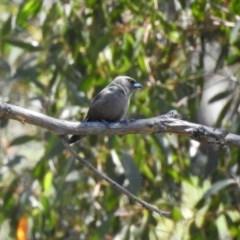 Artamus cyanopterus (Dusky Woodswallow) at Booth, ACT - 19 Feb 2019 by RodDeb