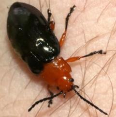 Lamprolina sp. (Pittosporum leaf beetle) at Rosedale, NSW - 16 Feb 2019 by jbromilow50