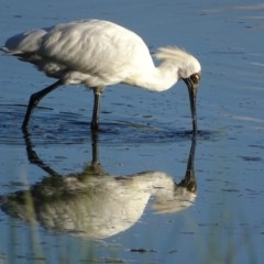 Platalea regia (Royal Spoonbill) at Jerrabomberra Wetlands - 13 Feb 2019 by roymcd