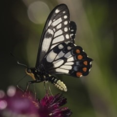 Papilio anactus (Dainty Swallowtail) at ANBG - 19 Feb 2019 by Alison Milton