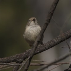Acanthiza reguloides (Buff-rumped Thornbill) at ANBG - 18 Feb 2019 by Alison Milton