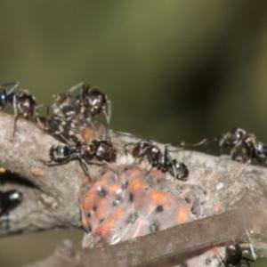 Iridomyrmex sp. (genus) at ANBG - 19 Feb 2019