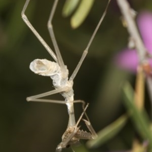 Pseudomantis albofimbriata at ANBG - 19 Feb 2019
