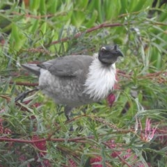 Philemon corniculatus (Noisy Friarbird) at Berry, NSW - 5 Sep 2018 by Andrejs