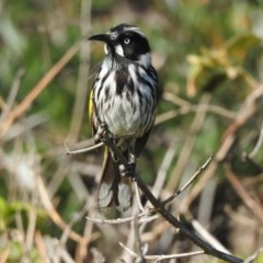 Phylidonyris novaehollandiae (New Holland Honeyeater) at Berry, NSW - 5 Sep 2018 by Andrejs