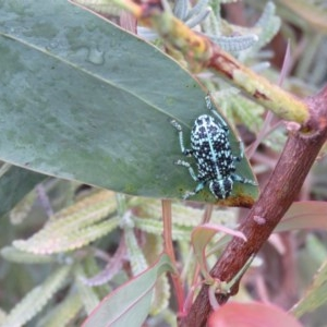 Chrysolopus spectabilis at Berry, NSW - 14 Dec 2016