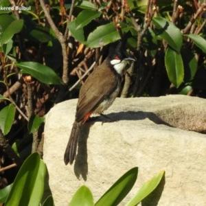 Pycnonotus jocosus at Berry, NSW - 19 Nov 2017
