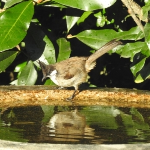 Pycnonotus jocosus at Berry, NSW - 10 Feb 2019