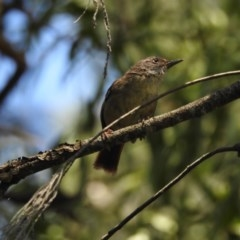 Sericornis frontalis (White-browed Scrubwren) at Berry, NSW - 11 Feb 2019 by Andrejs