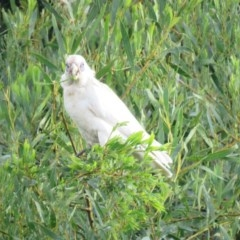 Cacatua sanguinea (Little Corella) at Berry, NSW - 19 Oct 2016 by Andrejs