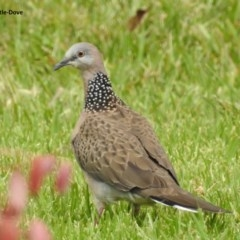Streptopelia chinensis (Spotted Dove) at Berry, NSW - 19 Nov 2017 by Andrejs