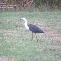 Ardea (Ardea) pacifica (White-necked Heron) at Berry, NSW - 12 Mar 2017 by Andrejs