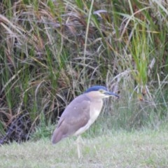 Nycticorax caledonicus at Berry, NSW - 20 Nov 2017