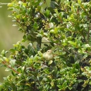 Acrocephalus australis at Berry, NSW - 19 Nov 2017