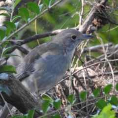 Colluricincla harmonica (Grey Shrike-thrush) at Berry, NSW - 21 May 2018 by Andrejs