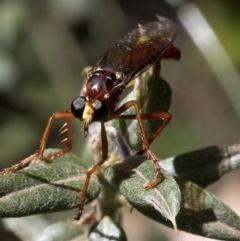 Daptolestes sergius (Robber fly) at Namadgi National Park - 20 Feb 2019 by JudithRoach