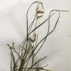 Eleusine tristachya (Goose Grass, Crab Grass) at Hughes Garran Woodland - 20 Feb 2019 by ruthkerruish