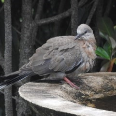 Streptopelia chinensis (Spotted Dove) at Berry, NSW - 5 Dec 2017 by Andrejs