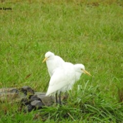 Bubulcus ibis (Cattle Egret) at Berry, NSW - 25 Feb 2018 by Andrejs