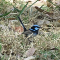 Malurus cyaneus (Superb Fairy-wren) at Berry, NSW - 24 Dec 2016 by Andrejs