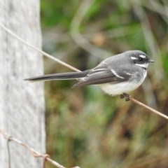 Rhipidura albiscapa (Grey Fantail) at Berry, NSW - 28 Aug 2017 by Andrejs