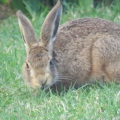 Lepus capensis (TBC) at Berry, NSW - 15 Apr 2017 by Andrejs