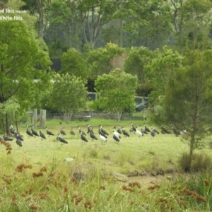 Threskiornis spinicollis at Berry, NSW - 6 Feb 2018