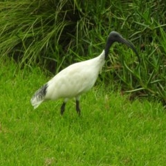 Threskiornis molucca (Australian White Ibis) at Berry, NSW - 3 Apr 2018 by Andrejs