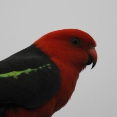 Alisterus scapularis (Australian King-parrot) at Berry, NSW - 14 Dec 2017 by Andrejs